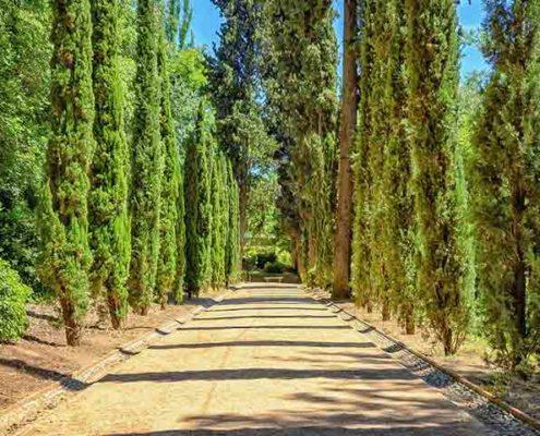 cipreses-en-los-cementerios